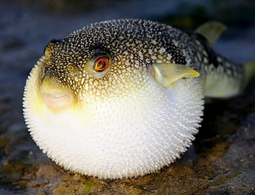 Don't be a puffer fish